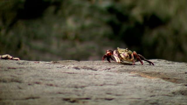 Rock Crab Eating Algae off Stones