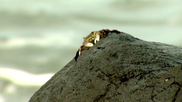 Rock Crab Eating  - Ocean Surf Waves Background