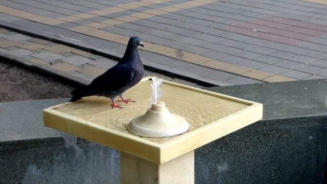 rock dove (columba livia) walking in fountain - siodło filmów i materiałów b-roll
