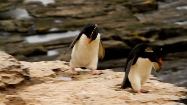 rock hopper pingwiny shot na falklandach - pingwin filmów i materiałów b-roll