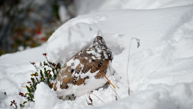 Rock Ptarmigan bird foraging with funny in snow hill
