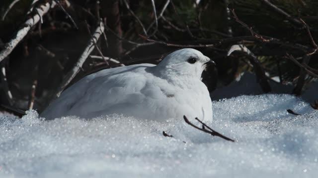 岩ターミガン女性 - 冬点の映像素材/bロール