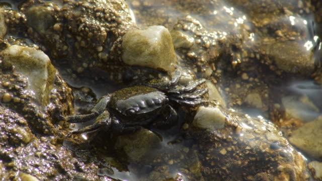 Rock warty crab - Eriphia Verrucosa