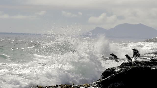 Rockhopper penguins Falkland Island video