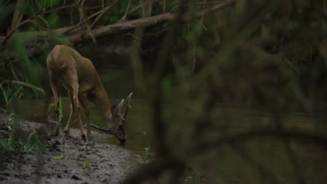 roe buck at a river - jeleniowate filmów i materiałów b-roll