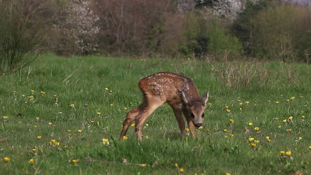 Roe Deer, capreolus capreolus, Fawn in Blooming Meadow, Normandy, Real Time