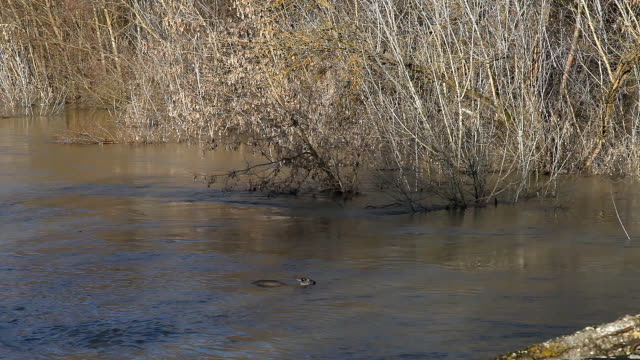 Roe deer carries the current of the river. The river came out of the shores video