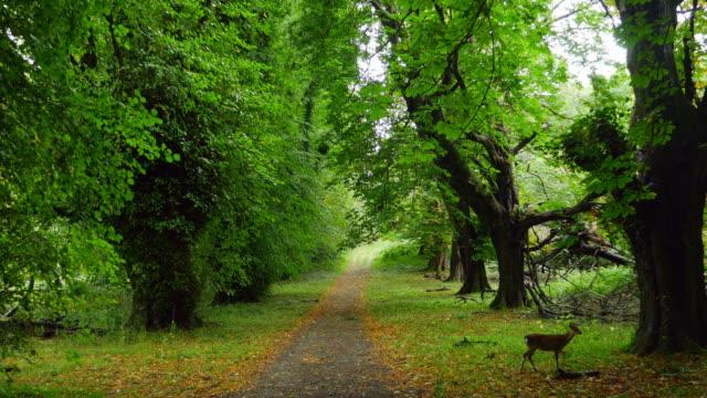 Sarna Jelonek Diciduous spaceru w lesie – film