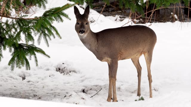 roe deer in a snowy forest. capreolus capreolus. wild roe deer in winter nature. - jeleniowate filmów i materiałów b-roll