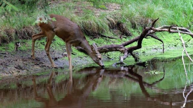 roe deer in forest, capreolus capreolus. wild roe deer drinking water from the pond - jelonek filmów i materiałów b-roll