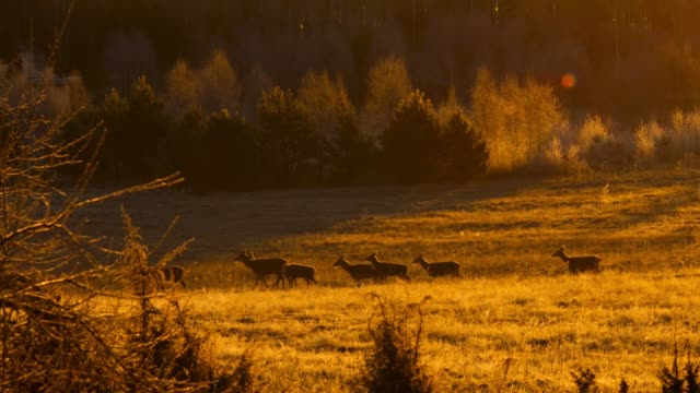 Roe deer in the meadow at sunrise
