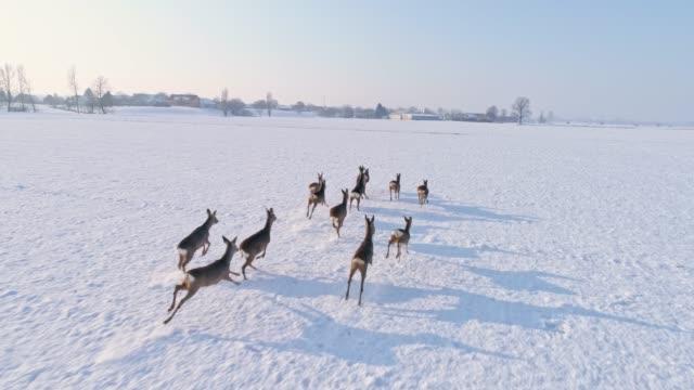 Video MS Roe deer running in snow covered rural field