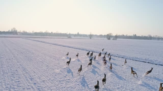 WS Roe deer running in snow covered,rural field