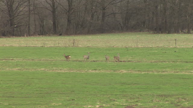 HD: Roe deer video