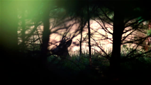 Roe deer video