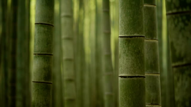 Rolling focus through a bamboo forest