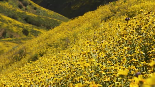 vidéos et rushes de coteaux de rouler couvert de fleurs jaunes se balançant au vent en californie - californie du sud