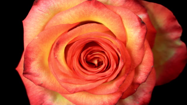 Romantic Blooming Red Rose video