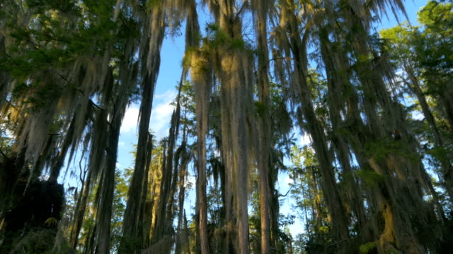 Romantic spanish moss in cypress swamp tree canopies above water video