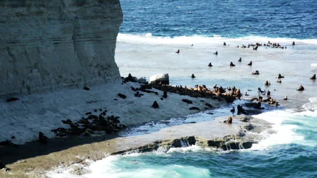 rookery of fur seals and other marine animals on valdes peninsula - penisola video stock e b–roll