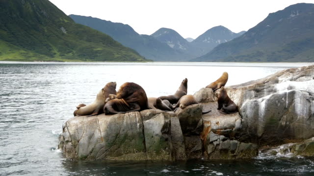 rookery steller sea lions. island in pacific ocean near kamchatka peninsula - poco profondo video stock e b–roll
