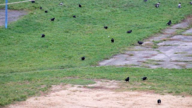 Rooks and Hooded crows are looking for something in the green grass video