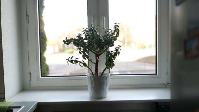 vídeos y material grabado en eventos de stock de flor de la habitación suculenta en una olla blanca en el alféizar de una habitación con una ventana - tiesto