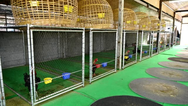 Rooster chickens in birdcage on farm