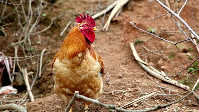 Rooster crowing video