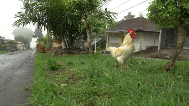 LS ZI Rooster In Grass