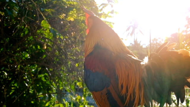 Rooster or Cock Crowing in the Morning video