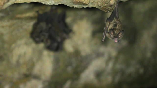 Roosting bats video