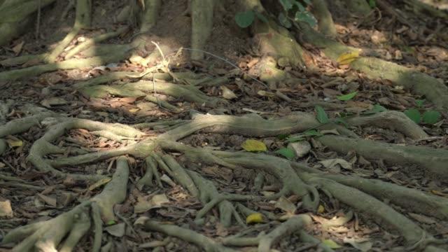stockvideo's en b-roll-footage met wortel van een grote boom. natuurlijk concept - reus fictief figuur