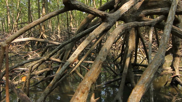Root of Mangrove forest video