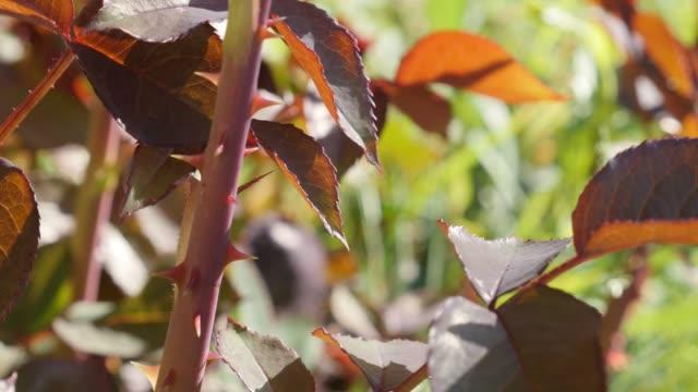 Rosaceae family flower leaflets and epidermis prickles 4K