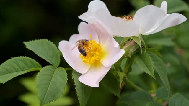ローズ。蜂蜜が集まります。芳香族低木。蜜。 - イヌバラ点の映像素材/bロール