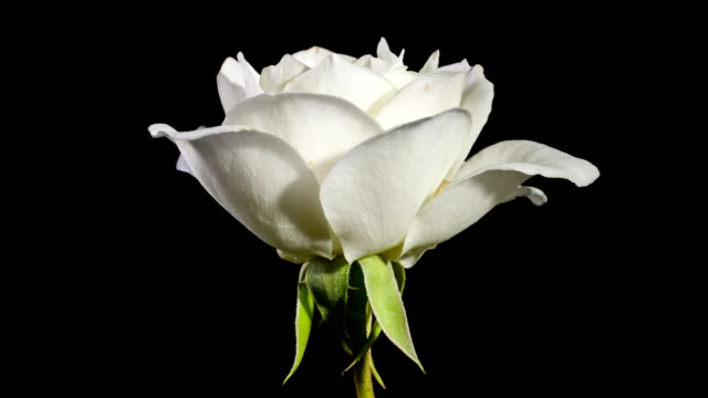 Rose Blomming Time Lapse