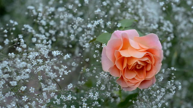 Rose blossoms on a background of baby's breath video