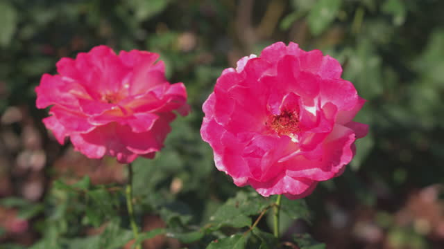Rose Blossoms, Rosa damascena. Essential oil production season is now. The beauty of the famous Bulgarian rose.