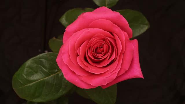 vidéos et rushes de un bourgeon rose s'ouvre. time-lapse. - tige d'une plante