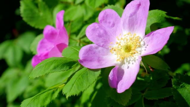 Rose bush in the wind. video