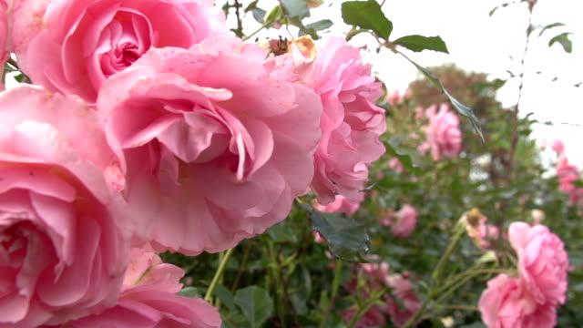 Rose Bushes In A English Garden Track shot through a rose bush. bush stock videos & royalty-free footage