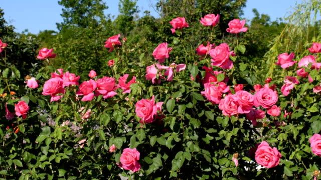 rose bushes in garden - куст стоковые видео и кадры b-roll
