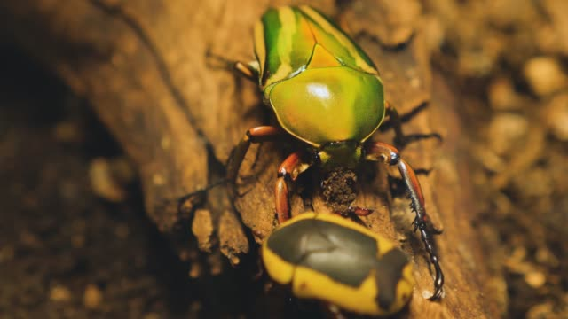 rose chafer, goldsmith beetle, Scarab on a branch