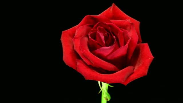 Rose dying 4K Rose dying over black background. death stock videos & royalty-free footage