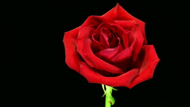 rose dör 4k - ros bildbanksvideor och videomaterial från bakom kulisserna