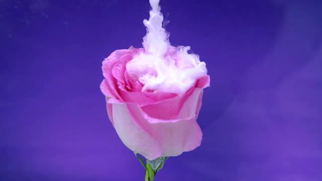 rosa blomma och vitt bläck moln i vatten - white roses bildbanksvideor och videomaterial från bakom kulisserna