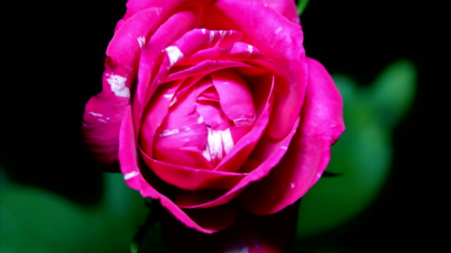rose flower blooming close-up time lapse