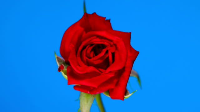 Rose flower blooming time lapse blue screen background