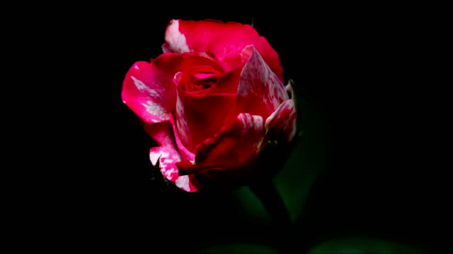 Rose flower blooming time lapse